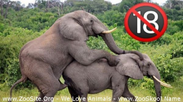 202081600 0216 fun elephant breeding how do elephant mating real video wild animals compil - Elephant Breeding How Do Elephant Mating Real Video Wild Animals Compilation