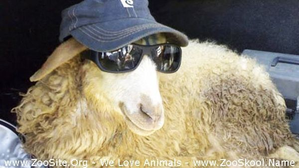202081666 0229 fun sheep and goats can be super funny  funny animal compilation - Sheep And Goats Can Be Super Funny  Funny Animal Compilation
