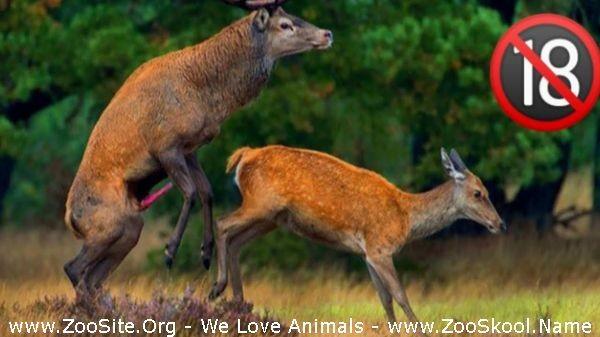 202081731 0240 fun deer mating how do deer mating real video wild animals mating compilati - Deer Mating How Do Deer Mating Real Video Wild Animals Mating Compilation