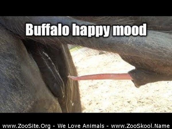 202081816 0258 fun buffalo mating close up dairy farm by amir sijjad buffalo mating - Buffalo Mating Close Up Dairy Farm By Amir Sijjad Buffalo Mating