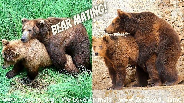 202081882 0273 fun bear mating bear sex bear breeding animal sex animals mating - Bear Mating Bear Sex Bear Breeding Animal Sex Animals Mating