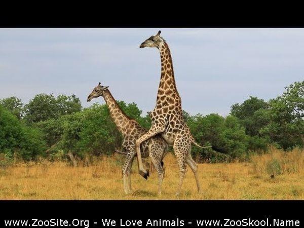 202082314 0180 fun giraffe tries hard to mate with female - Giraffe Tries Hard To Mate With Female