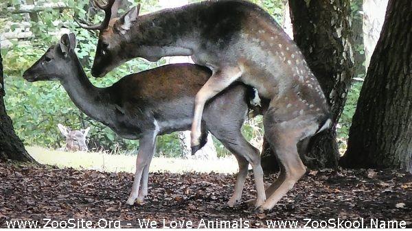 202082368 0198 fun fallow deer buck mates with female animal sex - Fallow Deer Buck Mates With Female!!! (Animal Sex)