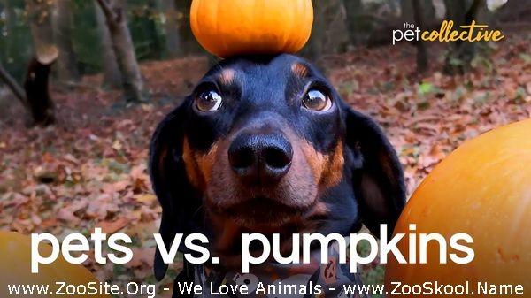 202082373 0199 fun pets vs pumpkins - Pets Vs Pumpkins